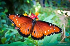The Monarch Butterfly (Danaus plexippus (Linnaeus)) is the Texas state insect and is one of my favorite butterflies found in Texas. But they can be found all over North America, Mexico Northern South America, New Caledonia, New Zealand, Australia, New Guinea, Ceylon, India, the Azores, and the Canary Islands.