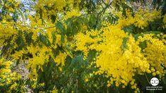 Digital Product Thumbnail - Mimosa Yellow Flowers Blooming in Spring in Madrid Spain Spring Photography, Travel Images, Yellow Flowers, Cool Places To Visit, Spring Time, The Good Place, Madrid, Spain, Bloom