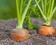 Möhren im Gemüsebeet
