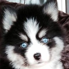 Pomsky Blue Eyes | Pomsky Puppy Training - Pomsky Pals