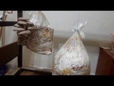 Mantar Tohumu Nasıl Üretilir? (Misel Üretimi ) - YouTube