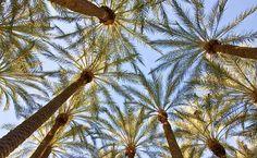 Arizona Palm Tree Pictures | Arizona Palm Trees
