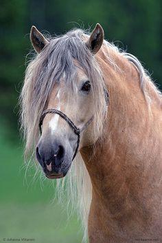 A rare silver dapple. After all but chestnuts… Most Beautiful Animals, Beautiful Horses, Beautiful Creatures, Pretty Horses, Draft Horses, Horse Love, Horse Breeds, Horse Art, Wild Horses