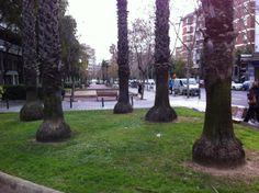 Palmeres al carrer Entença de Barcelona