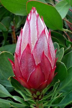 Queen Protea. Flor de Australia. Exotic Flowers, Tropical Flowers, Amazing Flowers, Beautiful Flowers, Protea Art, Protea Flower, Australian Native Garden, Australian Native Flowers, Flower Images