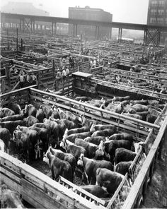 The Cleveland Stockyards at W. 65th Street. My Grandfather owned a meat-packing company in Cleveland called Stutz Kanzeg Wholesale Meats, and needless to say, he spent plenty of time here. Also, my Great Grandfather, Jacob Kaenzig, helped build the Stockyards.