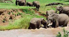 Des éléphants sauvent un éléphanteau de la rivière [video] - 2Tout2Rien