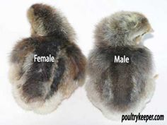 Telling the gender of sex-linked chicken breeds. Best Egg Laying Chickens, Keeping Chickens, Raising Chickens, Backyard Chicken Coops, Diy Chicken Coop, Chickens Backyard, Bantam Chickens, Baby Chickens, Cream Legbar Chickens