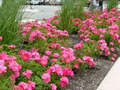 Flower carpet rose low growing ground covering rose continuous image detail for shrub rose flower carpet pink mightylinksfo