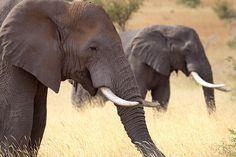 """A Stroll in the Park"" - photo by Leon Molenaar (leendert3), via Flickr;  at Limpopo, South Africa"