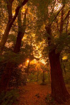 Autumn Trees in the Dusk at Shinjuku Gyoen National Garden, Naito-cho, Shinjuku-ku, Tokyo Magical Forest, Tree Forest, Haunted Forest, Forest Falls, Autumn Cozy, Autumn Fall, Autumn Scenes, Autumn Photography, Mother Nature