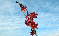 cambria orchid against a blue sky