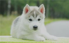 Popular    Siberian Husky Pictures for Dog Lovers #dogs