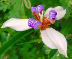 neomarica northiana iris - Google Search
