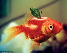 "Goldfish + Apple (""Plantimales"" Worth1000 Contest Entry)"