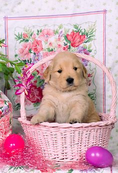 Golden Retriever puppy - pink Easter Basket by LuvPinkRoses Cute Puppies, Cute Dogs, Dogs And Puppies, Doggies, Easter Pictures, Holiday Pictures, Dogs Golden Retriever, Golden Retrievers, Retriever Puppy