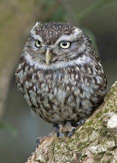 ˚Little owl - Athene noctua
