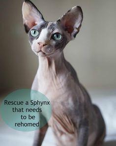 Adopt A Sphynx Cat Uk