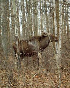 Molting Moose (Elk Island National Park - Alberta, Canada)