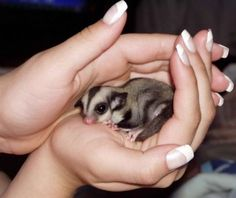 How to Care for Sugar Gliders