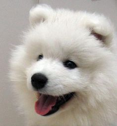 Samoyed Puppy - I can't wait to have one of these guys :)