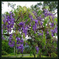 Fruit & Flowering - Bolusanthus speciosus - Tree Wisteria, Vanwykshout - 10 Seed Pack- Indigenous, New for sale in Port Elizabeth (ID:124511306)