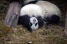 The giant panda (Ailuropoda melanoleuca; Chinese: 大熊猫) is a bear native to south central China. Though it belongs to the order Carnivora, the bear is a folivore, with bamboo shoots and leaves making. Sleeping Panda, Cute Panda, Exotic Pets, Otters, Panda Bear, Wall Mural, Dolphins, Habitats, Vikings
