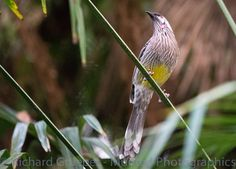 A Red Wattle Bird  200mm f/2.8 1/2000 or there a bouts ..