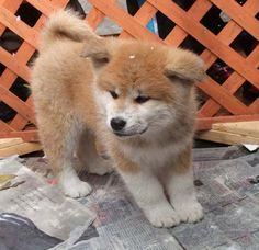 秋田犬の子 Akita Inu puppy akita dog, japan @Cynthia Agustine @Cicilia Febriana klepek klepekk