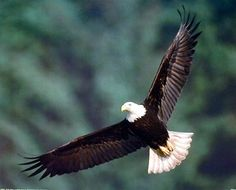 Bald Eagle Flying Bird Wildlife Animal Wall Decor Art Pri... https://www.amazon.com/dp/B00AK9WGGC/ref=cm_sw_r_pi_dp_x_fhJ6xbHFGH1D6