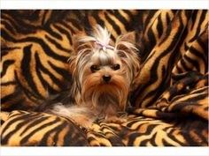 Teacup Tiger Yorkie