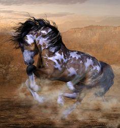 A Spirited Gallopping Wild Mustang Bay Paint Stallion.