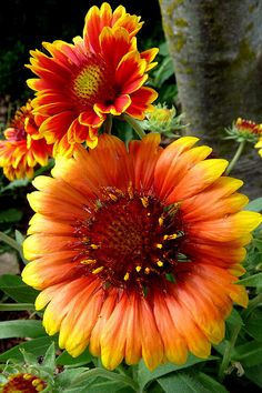 The Blanket Flower - stunning colors....In Oklahoma we have a wild flower with these colors and it is called the Indian Blanket.