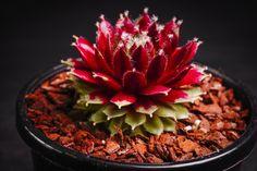 Sempervivum arachnoideum 'Rubin' (S)