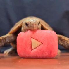 Cute Animal Photos, Cute Animal Videos, Farm Animals, Funny Animals, Funny Cats, Kawaii Turtle, Animal Eating, Eating Watermelon, Cat Memes