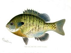Fish Prints Digital Images of 85 Denton Fish a Pheasant a Deer $10Oysters Lobster
