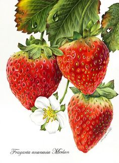 Pencil strawberries by Irina Cawton. Great Site for colored pencils examples. Colored Pencil Artwork, Coloured Pencils, Color Pencil Art, Botanical Drawings, Botanical Illustration, Botanical Prints, Pencil Illustration, Art Illustrations, Fruits Drawing