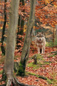 expressions-of-nature:  Mr. Wolf by: Jirina Bilkova