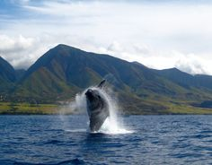 Editors' Picks: 20 of the Best Things to Do in Hawaii! Fantastic Whale Watching