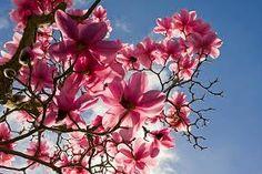 Pink Magnolia tree in bloom Sweet Magnolia, Magnolia Trees, Magnolia Flower, Outdoor Plants, Outdoor Gardens, Love Flowers, Beautiful Flowers, Daisy, Garden Animals