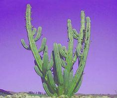 El San Pedro es la tercera cactácea con mayor concentración de mezcalina después del peyote y la variedad Trichocereus peruvianus que es más...