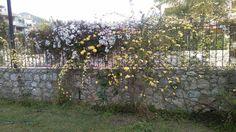 Gelsomini e rose gialle nel nostro giardino.