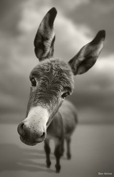"""His name is Reiki, he is a young baby...   and it's not a toy, it's a real donkey.  I [Ben Heine] took this picture in Braives, Belgium."""