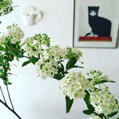 小手毬。 テーブルに飾るのもいいけど 壁に飾るのもかっこいいかも。 枝垂れ方がなんとも言えない 好きな花。  #decco #首里駅 #ceramics #地力 #ちりき #cup #壁掛け花器 #早口言葉 #okinawa Love Flowers, Flower Arrangements, Bicycle, Wreaths, Plants, Home Decor, Floral Arrangements, Bike, Decoration Home