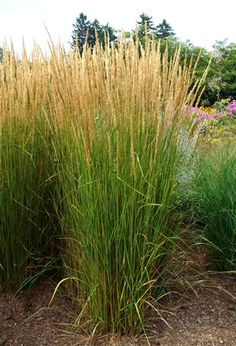 'Karl Foerster', is a tidy grass that has rich green blades that give way to creamy white/pink flowering heads in mid-summer. A choice landscape plant for erosion control, screening an area, and for p Natural Landscaping, Landscaping Supplies, Small Backyard Landscaping, Landscaping Plants, Landscaping Ideas, Backyard Patio, Landscaping Software, Backyard Ideas, Inexpensive Landscaping