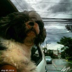涼しい? Pepper chilling? #shihtzu #dog #sky #cloud #philippines #フィリピン #シーズー #犬 #空 #雲