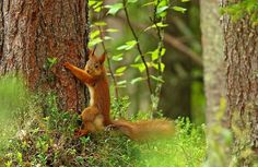 Red Squirrel, Finland. Red Squirrel, Finland, Blood, World, Animals, Animales, American Red Squirrel, Animaux, Animal