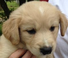 "FLYNN is a 9 week old, 6 lb Golden Retriever mix puppy. Flynn is good with other dogs & is great with kids! Foster mom says ""Flynn is a sweet, loving puppy who loves to be held, cuddled and played with! Flynn loves his squeaky stuffed animal. Very curious and investigates everything in the house.  wonderful puppy - sweet, loving, smart! Is going to make a wonderful pet!"" Working on house-training and crate-training. Current on age appropriate vaccines. Visit WWW.LULUSRESCUE.COM/ADOPT to…"