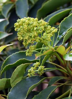 Trochodendron aralioides flower in May, London, the Wheel tree from Japan evergreen