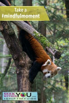 It is time for another #mindfulmoment Gently observe this red panda. Observe the color variations, fur, texture differences, ears, nose and eyes. To take this meditation even further, close your eyes and imagine you are this panda. How does it feel to be on this tree in that position?  Looking for more ways to quiet your mind and feel more calm? Try one of our guided meditations.  #mindfulmoment #meditate4change #shiftmyvibe Meditation For Health, Healing Meditation, Meditation Practices, Mindfulness Meditation, Guided Meditation, Law Of Attraction Love, Attraction Quotes, Meditation Supplies, Mindfulness Exercises